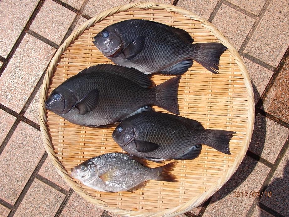 20170909ウキ釣り釣果口太_ウミタナゴ