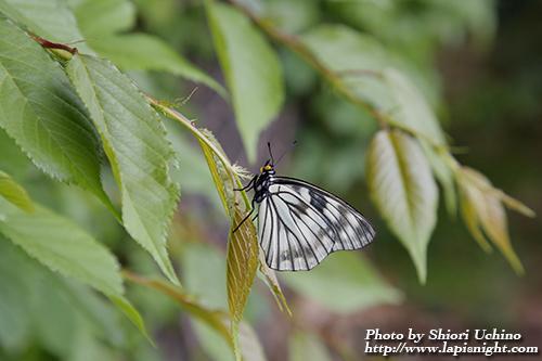 ゴマダラチョウ(胡麻斑蝶) 学名_Hestina persimilis japonica