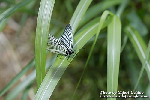 アカボシゴマダラ(赤星胡麻斑) Hestina assimilis 春型