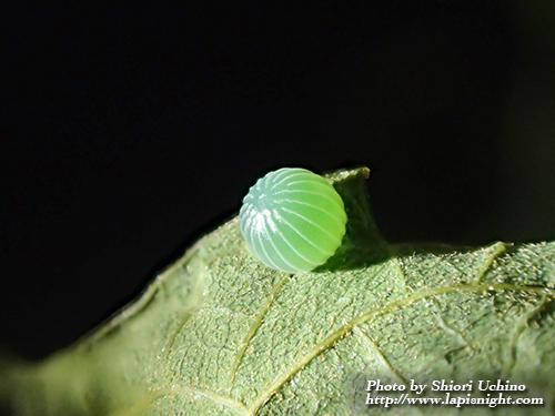 アカボシゴマダラ(Hestina assimilis) 卵