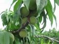 若い桃の実