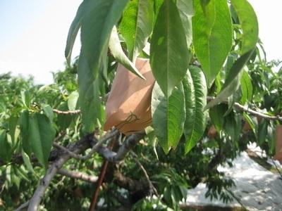 収獲を待つ桃の袋