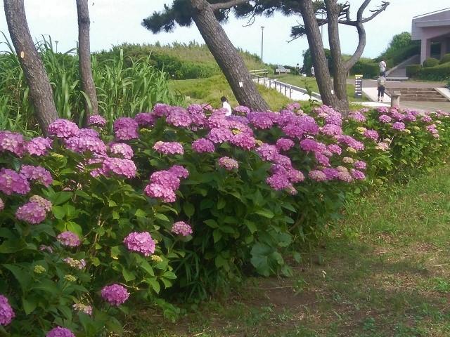 20170617城ヶ島でVHFDX(紫陽花1)