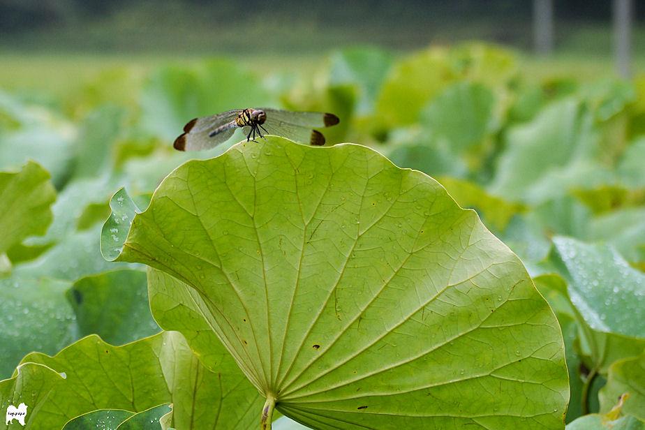 ハスの葉にトンボ