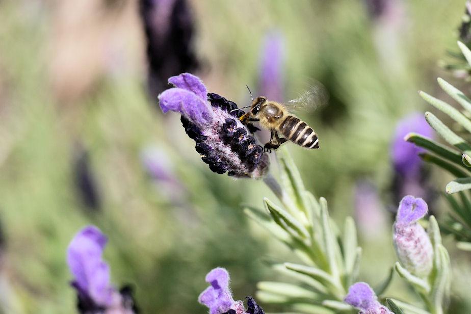 フレンチラベンダーに蜜蜂