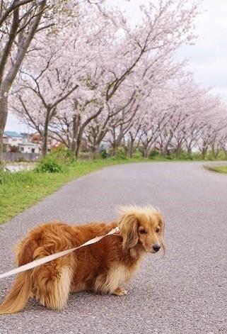 桜とちょこ