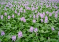 Water_hyacinth,_Gyoda_Suijo_Park
