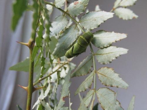 5齢幼虫1