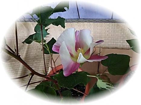 ペルー綿の花