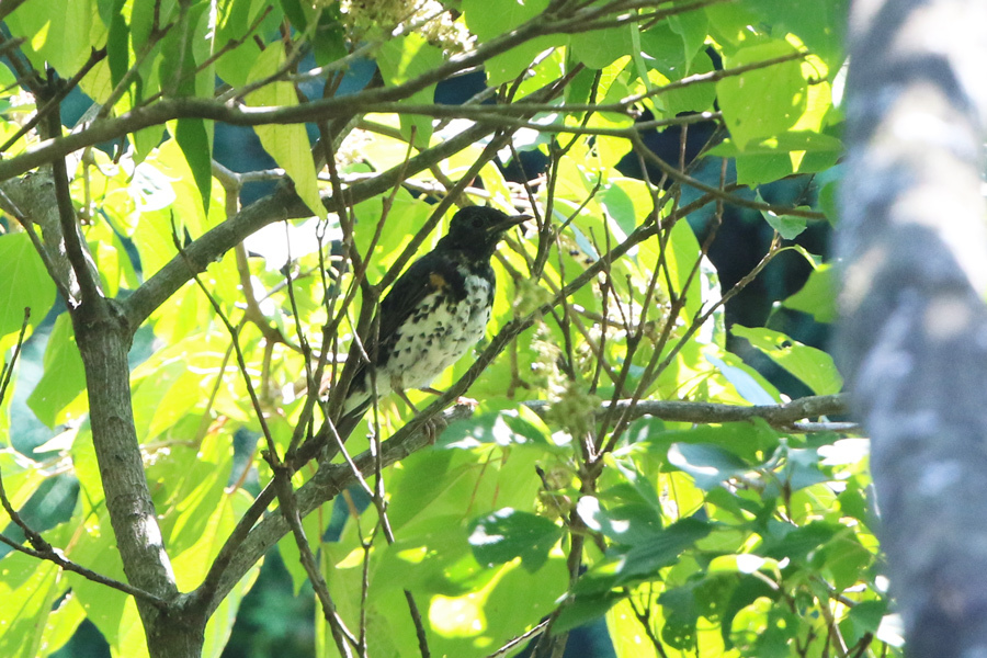 2017-9-3クロツグミ幼鳥0H7A8846