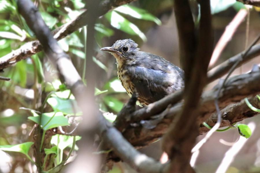 2017-9-3クロツグミ幼鳥T84A5225