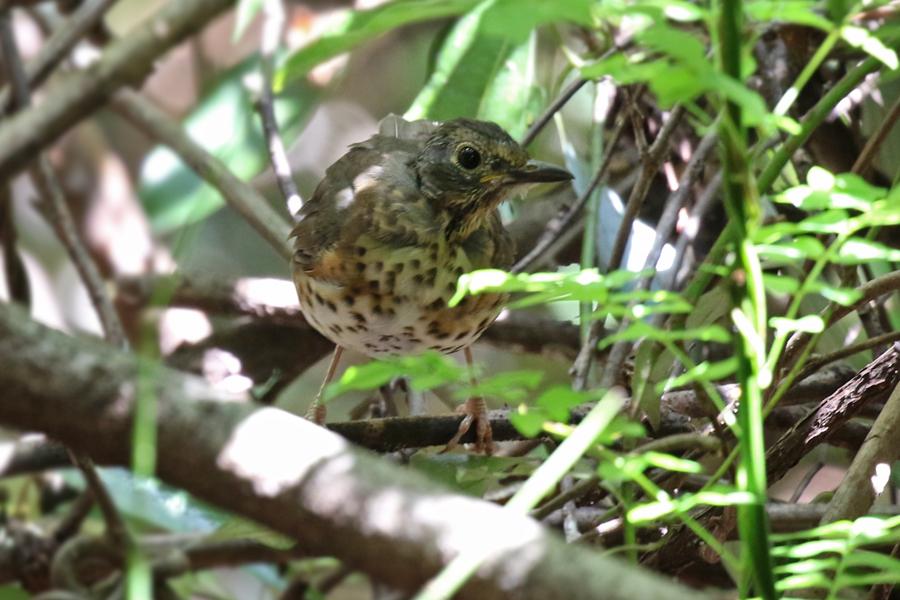 2017-9-3クロツグミ幼鳥T84A5269