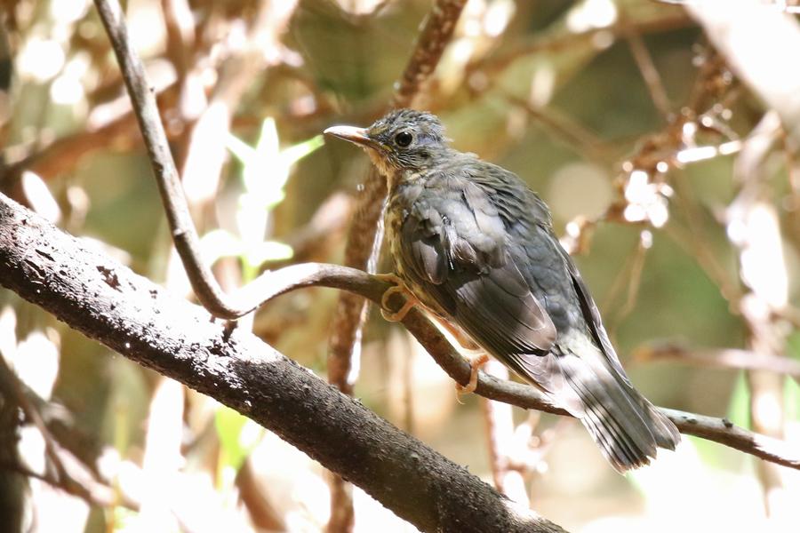 2017-9-3クロツグミ幼鳥T84A5253
