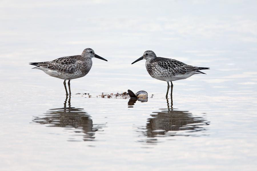 2017-9-10オバシギ幼鳥0S8A1843