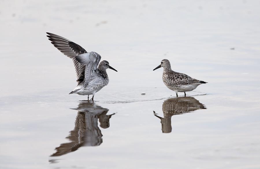 2017-9-10オバシギ幼鳥0S8A1856