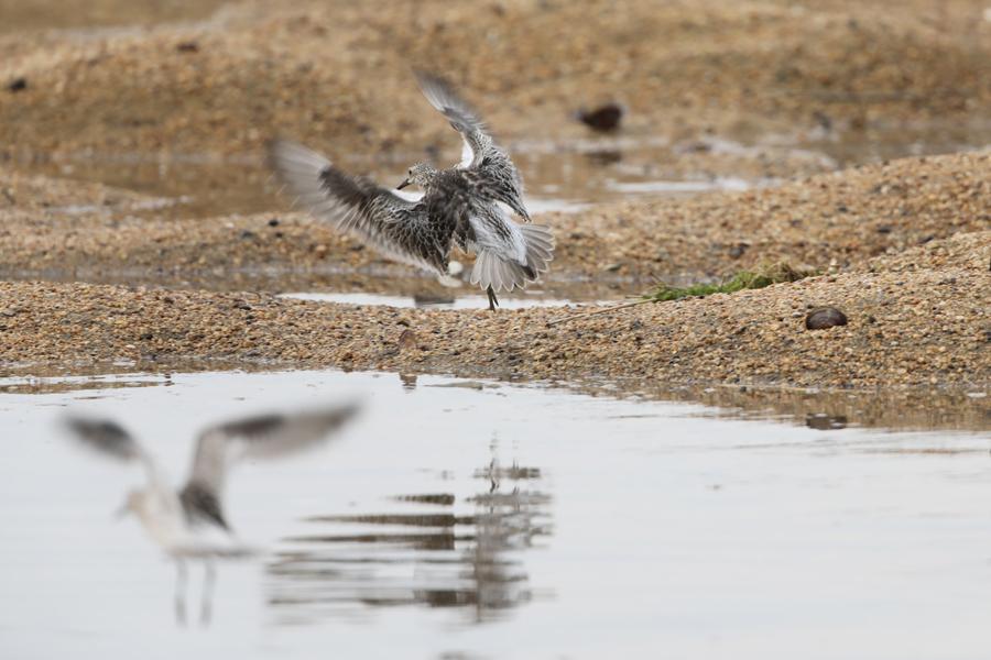 2017-9-10オバシギ幼鳥0S8A1871