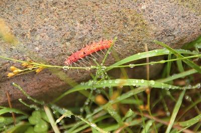 赤い毛虫20170806