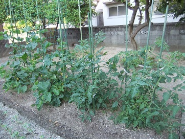 胡瓜とトマトの成長