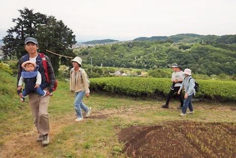茶畑は摘み取りの季節