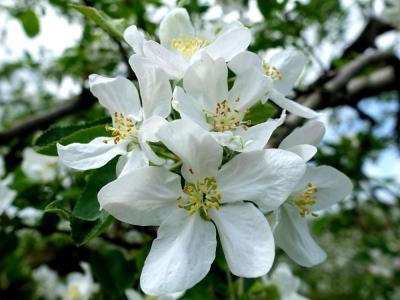 道の駅にしかわ りんごの花