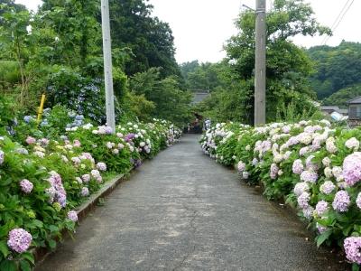 日運寺の紫陽花