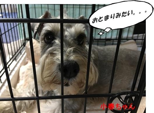 小春ちゃん2017年6月16日