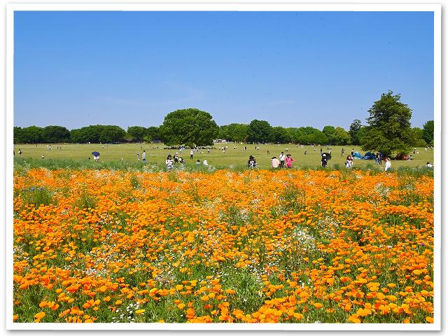 ポピー☆昭和記念公園