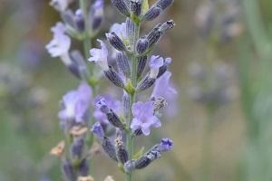 lavender26.jpg