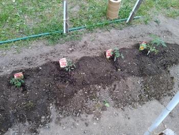 20170503夏野菜トマト