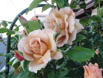 ROSE2017060605.jpg