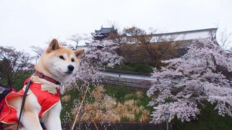福知山城の桜とさくら