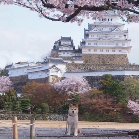 姫路城とさくら