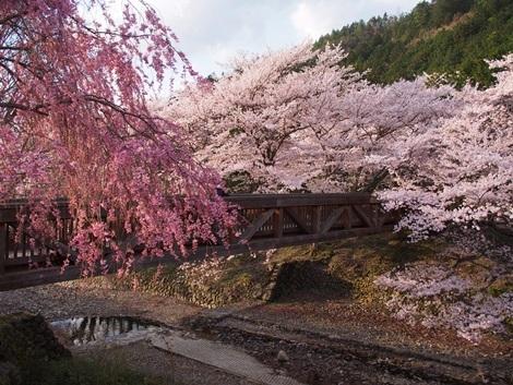 七谷川お花見♪