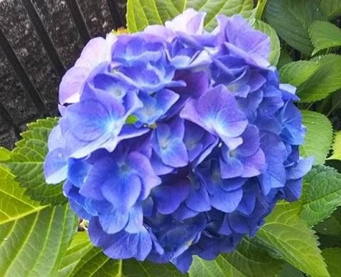 平成29年6月8日紫陽花1