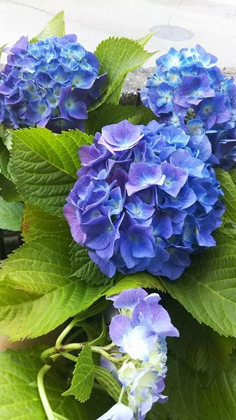 平成29年6月8日紫陽花2