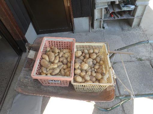 ジャガ芋生3