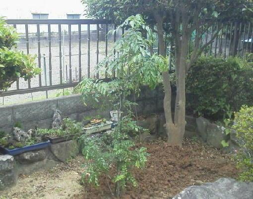 トネリコ植えた