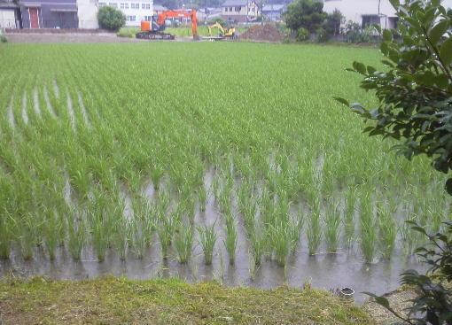 稲の成育2