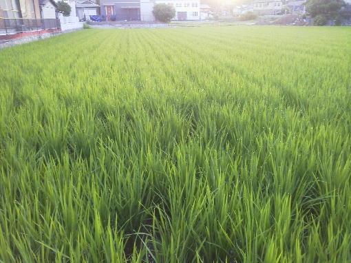 稲の成育1