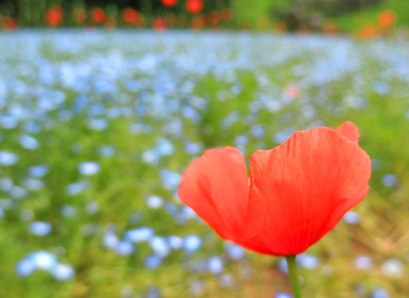 170507ポピー ネモフィラ 花の国06