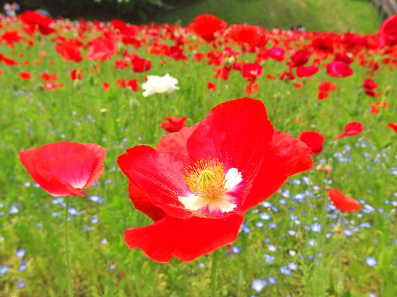 170507ポピー ネモフィラ 花の国09