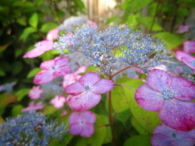 170617,鎌倉の路地裏の紫陽花5