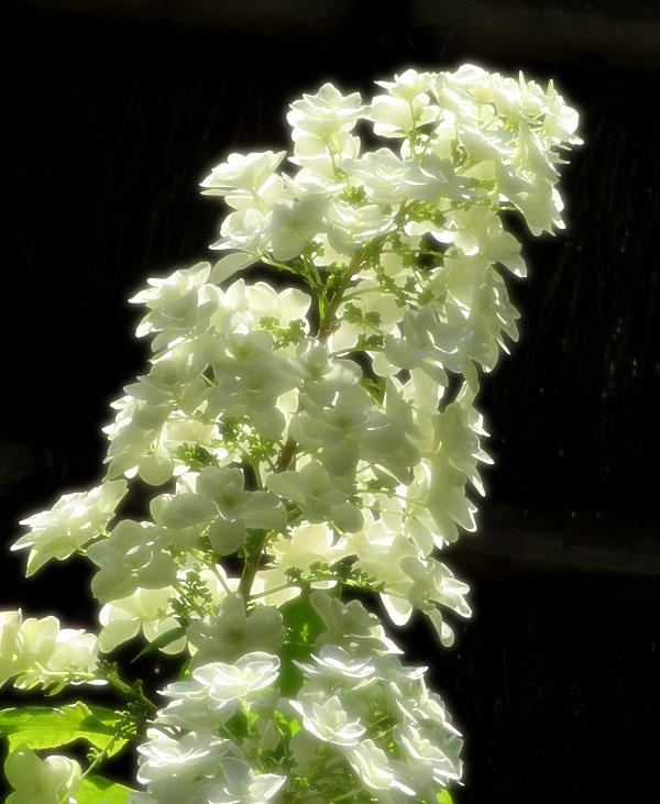 170617,鎌倉の路地裏の紫陽花4
