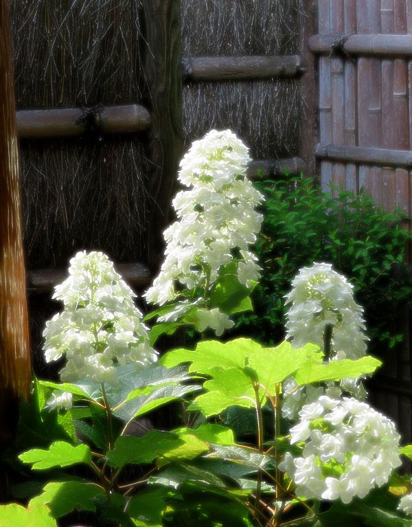 170617,鎌倉の路地裏の紫陽花3