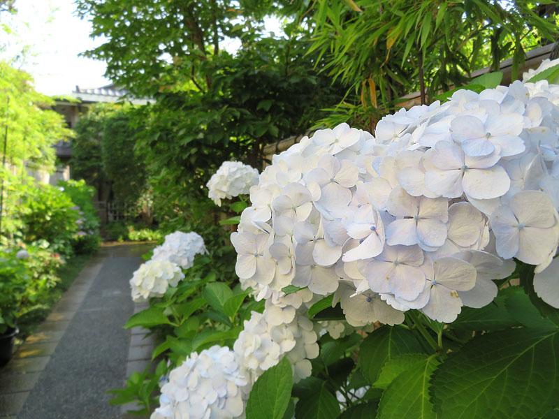 170617,鎌倉の路地裏の紫陽花2