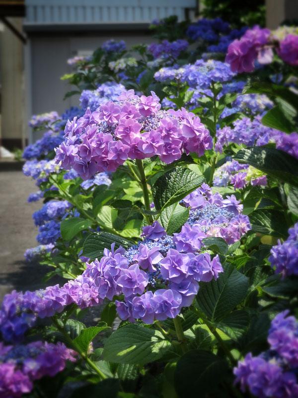 170617,鎌倉の路地裏の紫陽花6