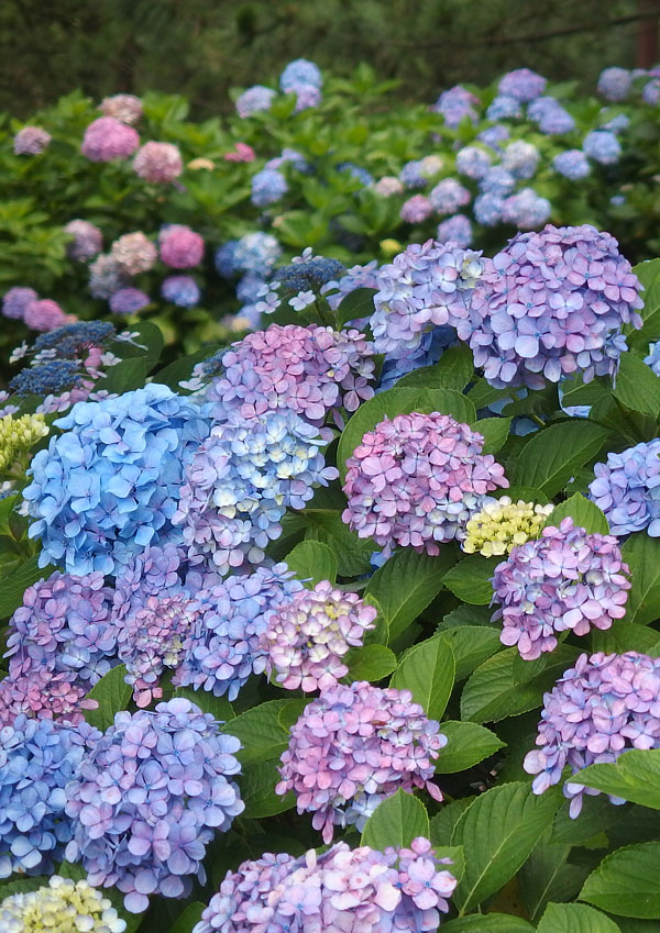 170701,八景島紫陽花04