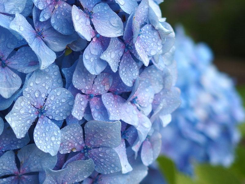 170701,八景島紫陽花06