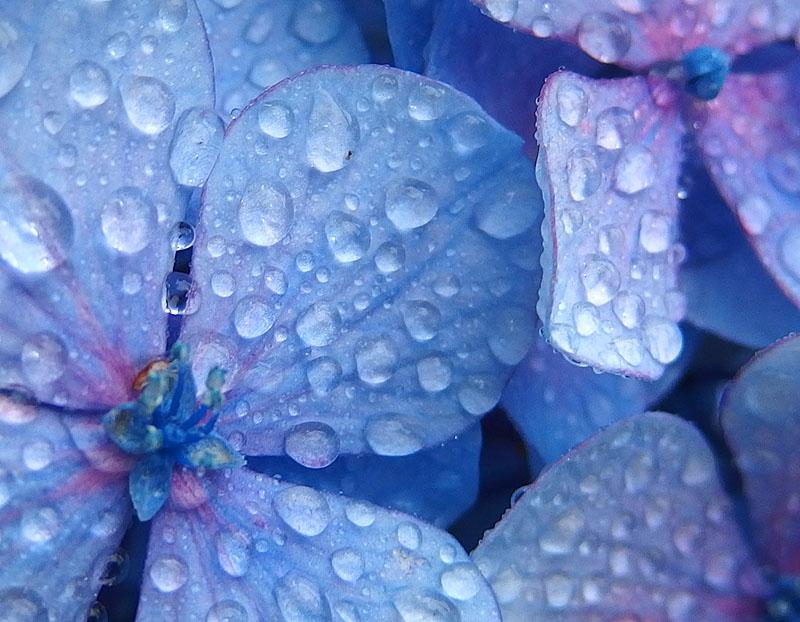 170701,八景島紫陽花07