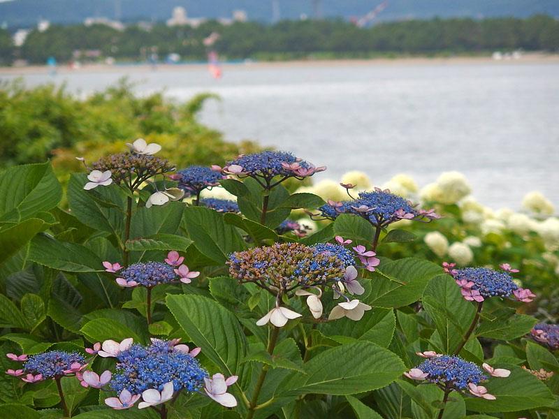 170701,八景島紫陽花10